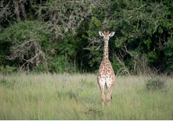 Giraffe in the Phinda Game Reserve