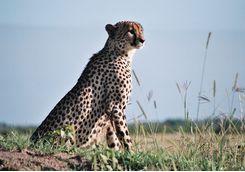 Cheetah in Phinda Game Reserve