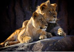 Lions looking out