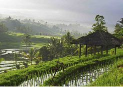 Rice paddies in Ubud scenery