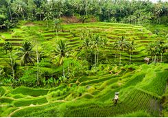 Rice paddies, Indonesia