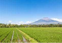 rice field java