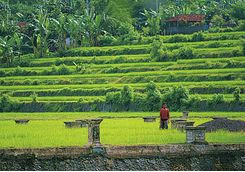amankila rice terraces bali