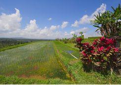 rice terrace field in bali