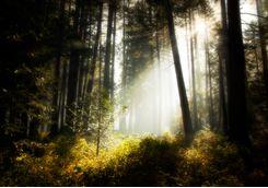 Sunbeam in Sierra Forest