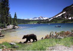 Yosemite National Park Black Bear