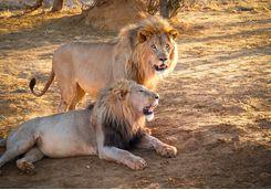 Lions spotting