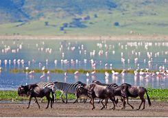 wildebeest and flamingos