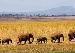 row of elephants walking