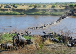 wildebeest river charge