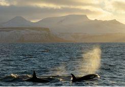 Orcas breaching