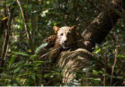 Leopard Spotting