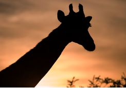A giraffe at sunset