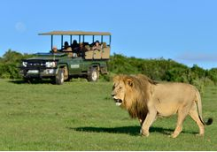 A male lion during a game drive