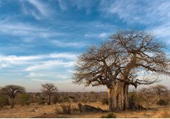 Baobab Tree, Ruaha