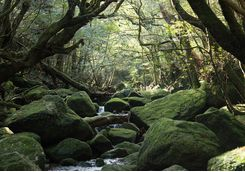 Woodland stream on Yakushima Island