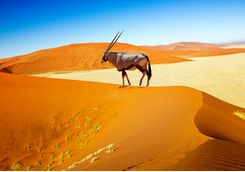 oryx sossusvlei
