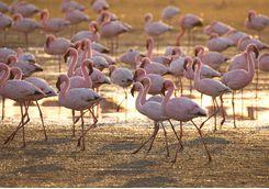 flamingoes walvis bay
