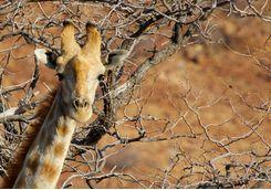 giraffe damaraland