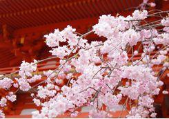 Blossom at Kiyomizu temple in Kyoto