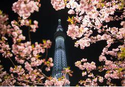 Tokyo Skytree and cherry blossom
