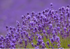 Detail of lavender in Furano