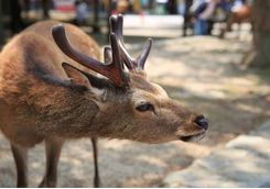 The deer of Miyajima