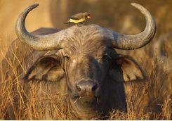buffalo bird