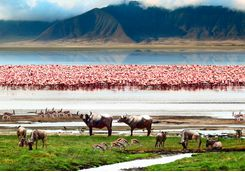 flamingos buffalo