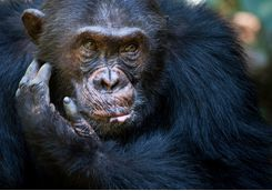 chimp close up