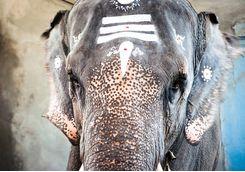 elephant at manakkula vinayagar temple