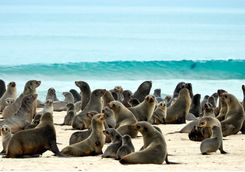 Cape Fur Seals on the Skeleton Coast