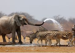 Elephants spraying water at a zebra
