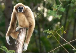 A Wild Gibbon