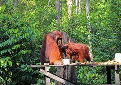 An Orangutan feeding platform