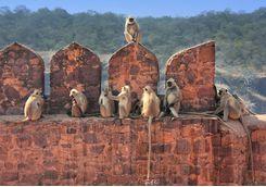 ranthambore national park fort monkeys