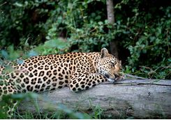 leopard relaxing