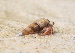 Hermit crab in the Andaman Islands