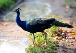 peacock in nagarhole national park