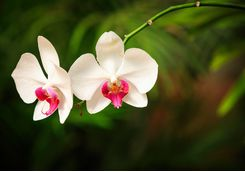 Orchids in Kandy
