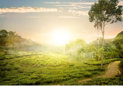 Sunrise over the tea hills
