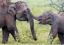 Elephants playing in Yala