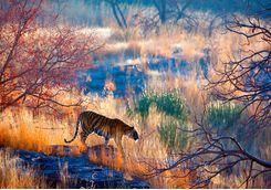 Tiger, Rajasthan