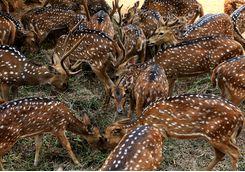 Deers, Ranthambore