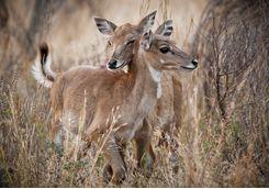 Deers, Ranthambore National Park