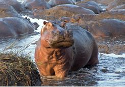 Hippos during a safari