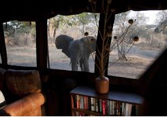 An elephant at camp window