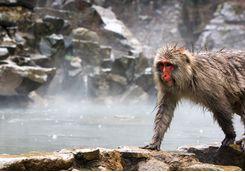 jigokudani park japanese macaque