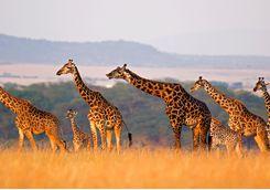 A herd of giraffes in the Serengeti National Park