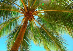 Palm tree leaves in Zanzibar